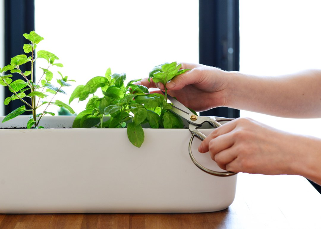 Trimming herbs with scissors
